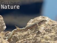 Podarcis liolepis atrata