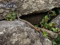 Iberolacerta  monticola