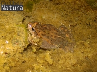 Discoglossus pictus