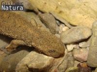 Calotriton asper